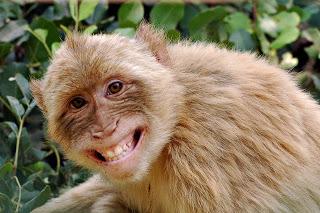funny-monkey-11